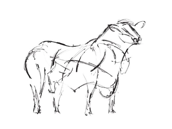The Creative Process – Wildlife Sculpture Sketch of an Angus Bull by Andrew Kay