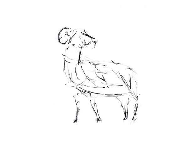 Sketch of a Swaldale Sheep for Metal Wildlife Sculpture by Andrew Kay Sculpture