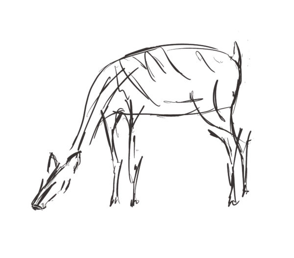 Sketch of doe grazing in the field